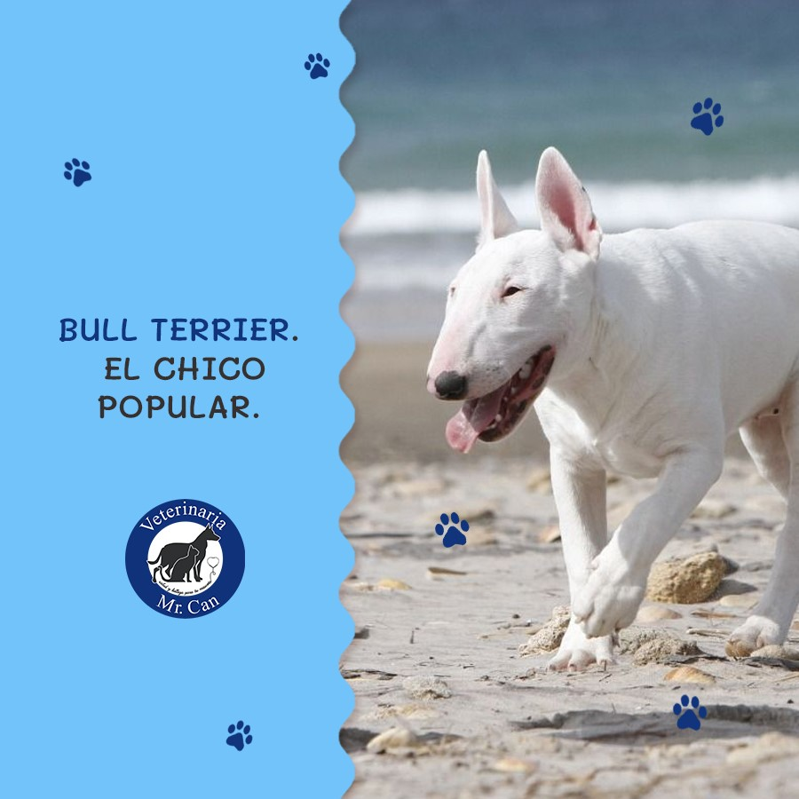 Bull Terrier, el chico popular